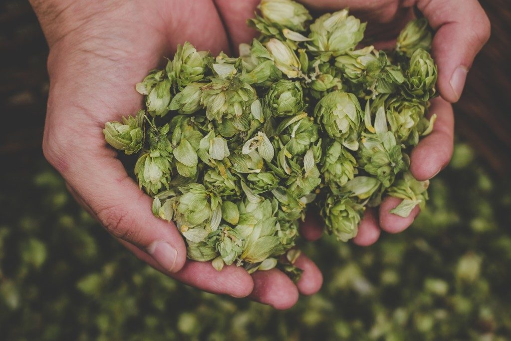 Man holding green hop cones.